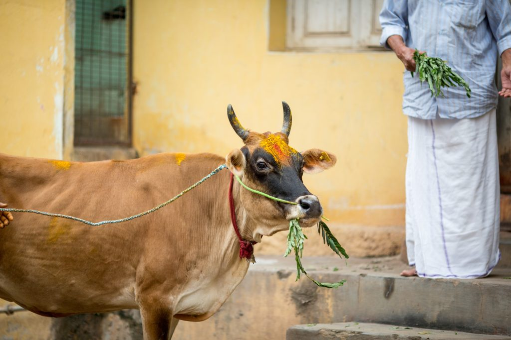 Cow eating grass on the street of Indian town